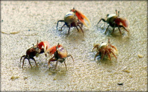 Crabs Poster featuring the photograph Dancing Of The Fiddlers by Karen Wiles