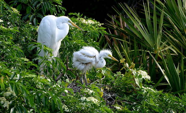 Great Egret Poster featuring the photograph I Think I Can by Jodi Terracina