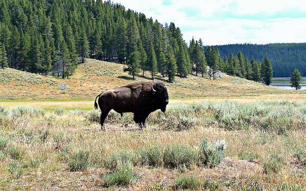Lone Bull Buffalo Poster featuring the photograph Lone Buffalo by Trisha Shrum Shrader