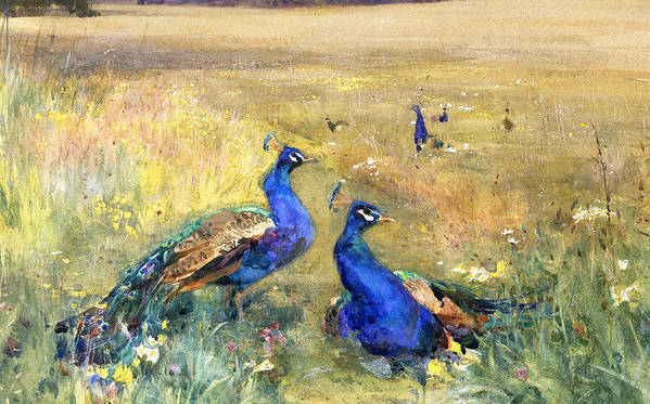 Peacock Poster featuring the painting Peacocks In A Field by Mildred Anne Butler