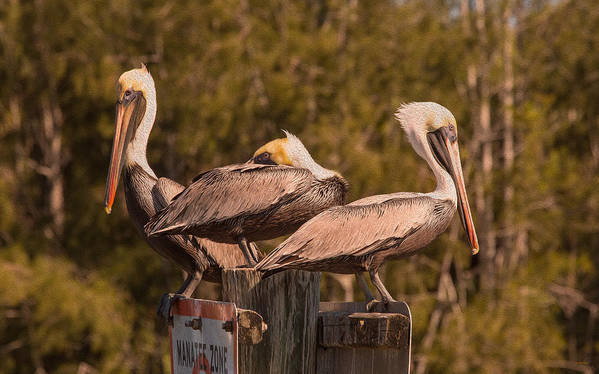 Birds Poster featuring the photograph Pelicans On Watch by John M Bailey