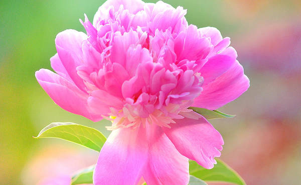 Art Poster featuring the photograph Peony by Joan Han