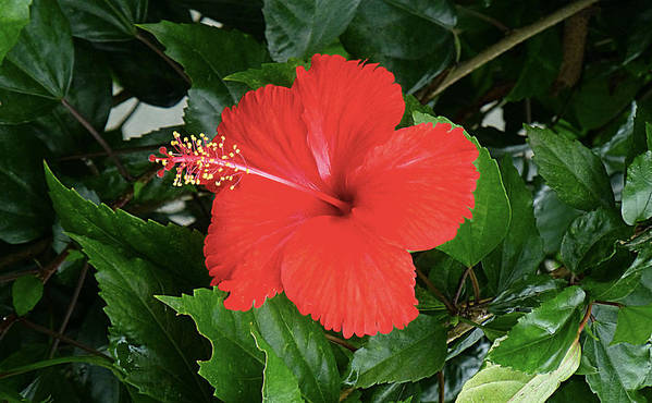 Red Poster featuring the photograph Red Hibiscus by Girish J
