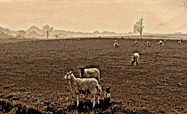 Sheep Poster featuring the photograph Redeemed By The Lamb by Mindy Newman