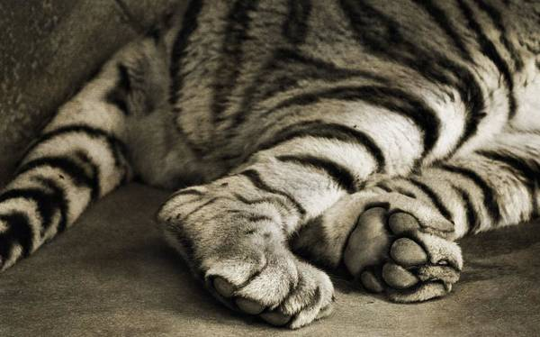 Tiger Paws Poster featuring the photograph Tiger Paws by Dan Sproul