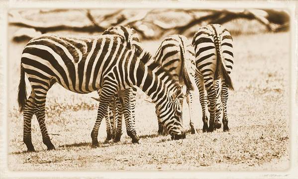 Vintage Zebras Poster featuring the photograph Vintage Zebras by Dan Sproul
