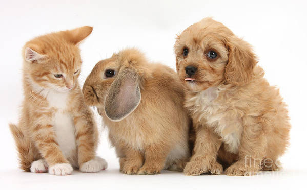 Nature Poster featuring the photograph Cavapoo Pup, Rabbit And Ginger Kitten by Mark Taylor