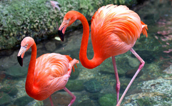 Flamingo Poster featuring the photograph Flamingo River Walk by Elizabeth Hart