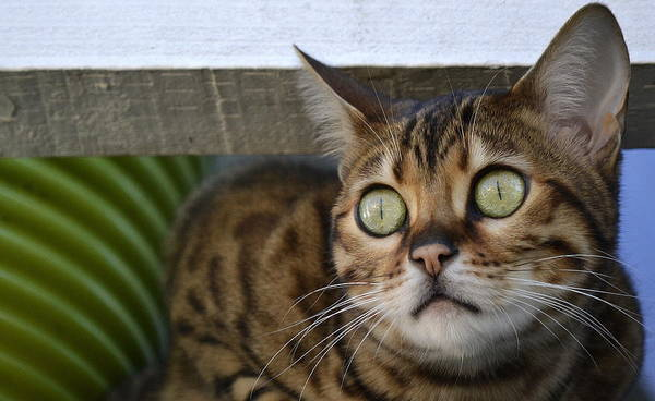 Bengal Cat Poster featuring the photograph If Looks Could Kill by Fraida Gutovich