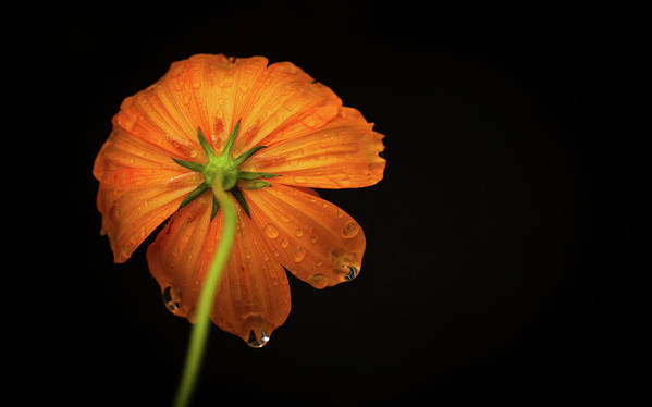 Horizontal Poster featuring the photograph Orange Flower On Black Background by photo by Jason Weddington