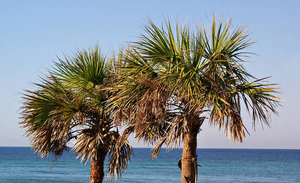 Trees Poster featuring the photograph Palm Trees by Sandy Keeton