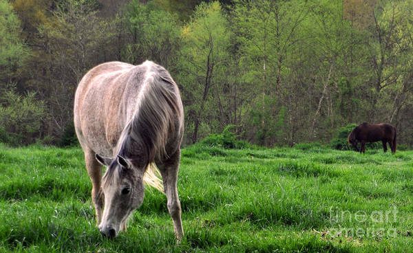 Horses Poster featuring the photograph Peaceful Pasture by Lydia Holly