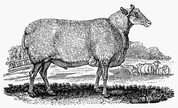 1800 Poster featuring the photograph Sheep, C1800 by Granger