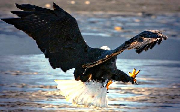 Bald Eagle Poster featuring the digital art Talons by Carrie OBrien Sibley