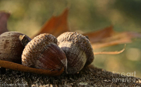 Outdoors Poster featuring the photograph Wild Nuts by Susan Herber