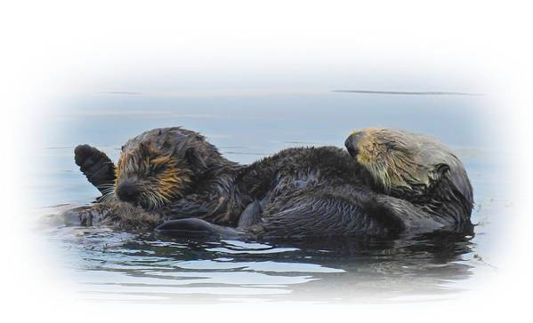 Sea Otters Poster featuring the digital art A Mama Sea Otter And Her Babe by Sandra O'Toole