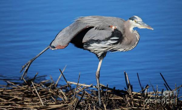 Great Blue Heron Poster featuring the photograph Stretch by Paulette Thomas