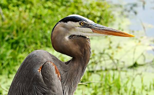 Blue Heron Heads Up Poster featuring the photograph Blue Heron Heads Up by William Bosley