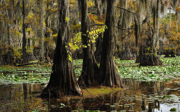 Cypress Trees Poster featuring the photograph Yellow Leaves by Iris Greenwell