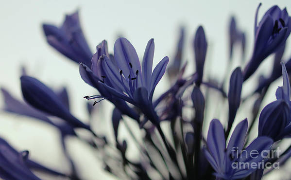 Agapanthus Poster featuring the photograph Agapanthus - Love Flower -2 by Carolyn Parker