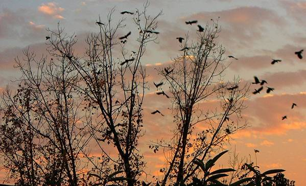 Birds Poster featuring the photograph Black Birds At Sundown by Caroline Urbania Naeem