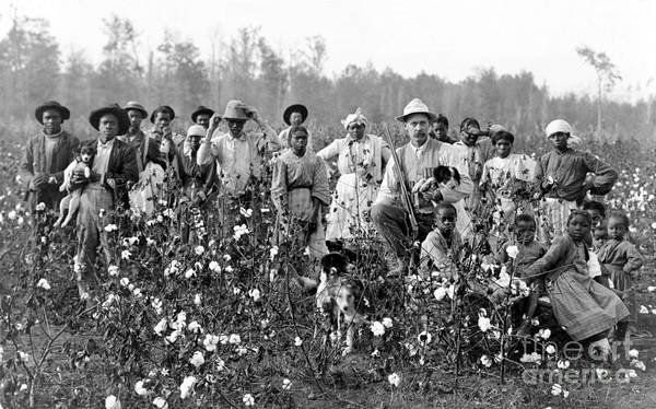 1908 Poster featuring the photograph Cotton Planter & Pickers, C1908 by Granger