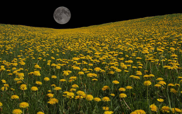 Moon Poster featuring the photograph Dandelion Moon by Mitsubishiman