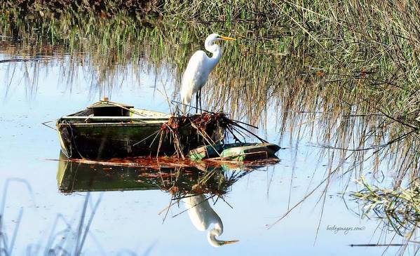 Great White Egret In Row Boat Poster featuring the photograph Great White On Row Boat by William Bosley