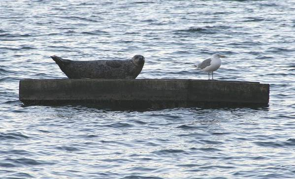 Seal Poster featuring the photograph Harbor Seal Hangin With A Friend by Glenn Wachtman