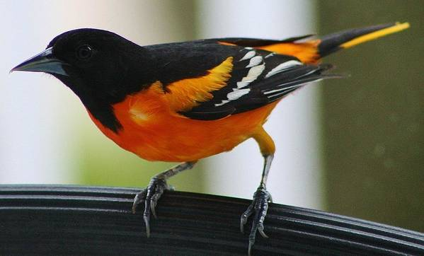 Oriole Poster featuring the photograph I Can See You by Bruce Bley