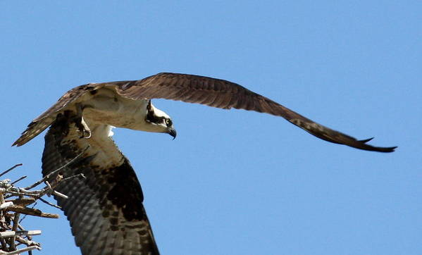 Osprey Poster featuring the photograph Leaving The Nest by Annie Babineau