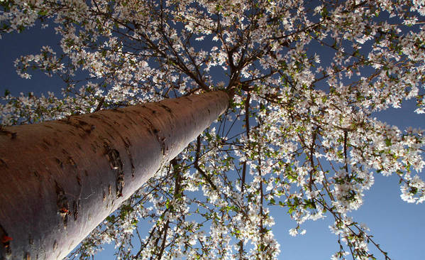 Tree.spring Poster featuring the photograph Looking Up by Nicholas J Mast