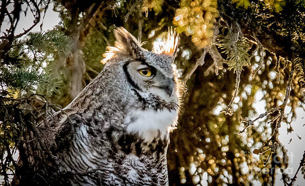 Owl Poster featuring the photograph Male Great Horned Owl Portrait by Donna Barker