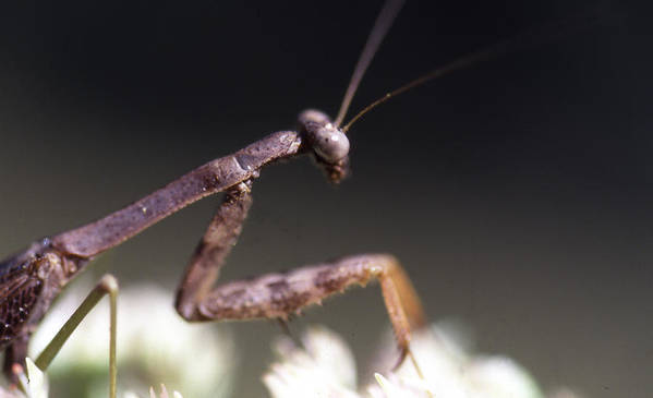 Poster featuring the photograph Mantis Pray by Curtis J Neeley Jr