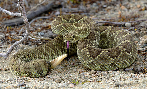 Mojave Poster featuring the photograph Mohave Green Rattlesnake Striking Position 3 by Bob Christopher