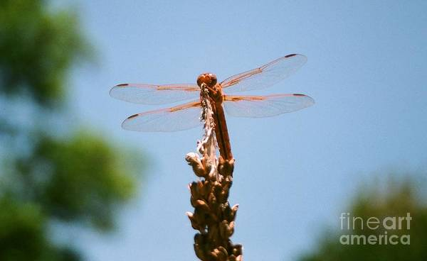 Dragonfly Poster featuring the photograph Red Dragonfly by Dean Triolo