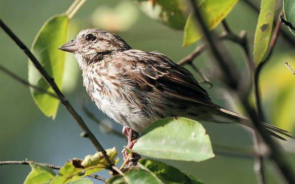 Nature Poster featuring the photograph Song Sparrow by David Rosenthal