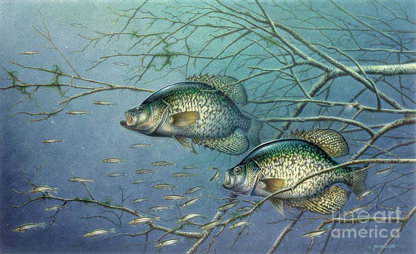 Jon Q Wright Poster featuring the painting Tangled Cover Crappie II by Jon Q Wright