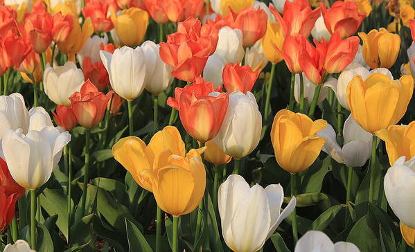 Tulips Poster featuring the photograph Tulips Ablaze With Color by Dora Sofia Caputo Photographic Design and Fine Art