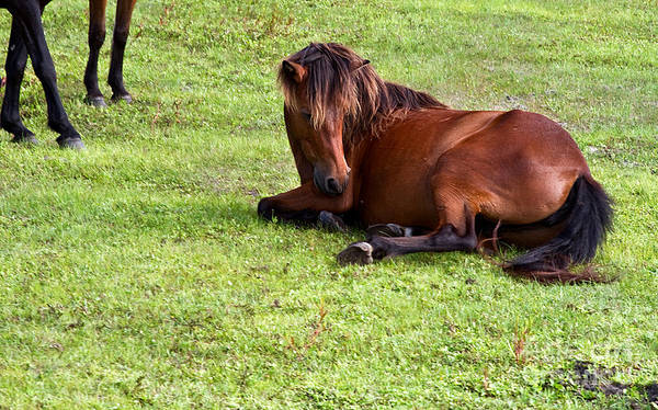 Wild Horses Poster featuring the photograph Wild Mustang At Rest by Crystal Garner