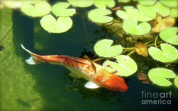 Koi Poster featuring the photograph Wisdom by Amy Strong