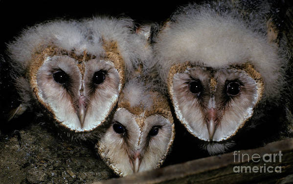 Fauna Poster featuring the photograph Common Barn Owl Chicks Tyto Alba by Ron Sanford