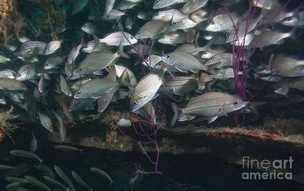 Fish Poster featuring the photograph A Large School Of Tomtate by Michael Wood