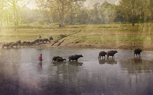 Cattle Crossing River Poster featuring the photograph The Crossing by Nichon Thorstrom