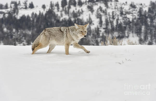 Wildlife Poster featuring the photograph Winter's Determination by Sandra Bronstein