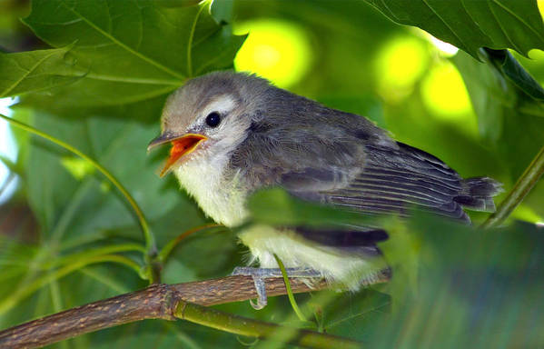 Sparrow Poster featuring the photograph Baby Sparrow In The Maple Tree by Karon Melillo DeVega