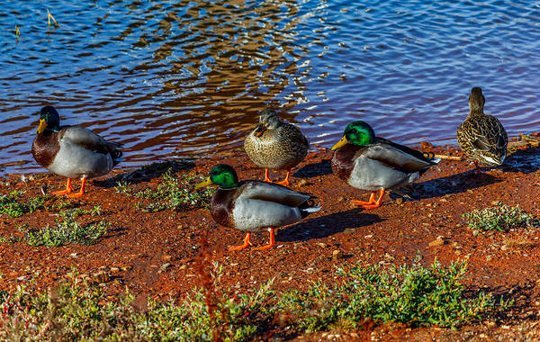Ducks Poster featuring the photograph On The Shore by Doug Long