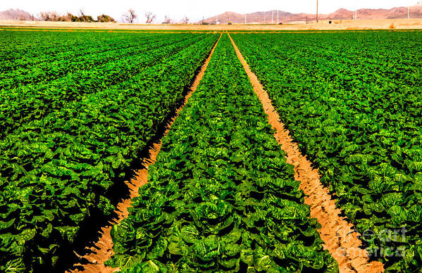 Winter Lettuce Poster featuring the photograph Young Lettuce by Robert Bales