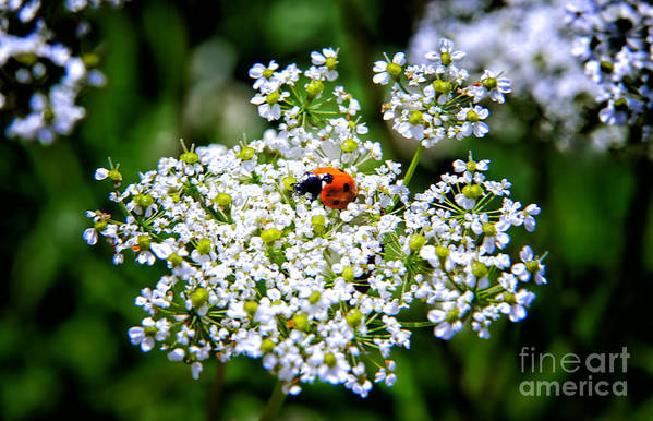 Pretty Poster featuring the photograph Pretty Little Ladybug by Mariola Bitner