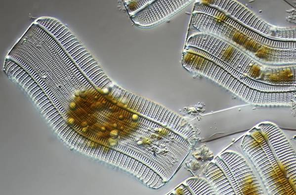 Achnantes Longipes Poster featuring the photograph Diatoms, Light Micrograph by Science Photo Library